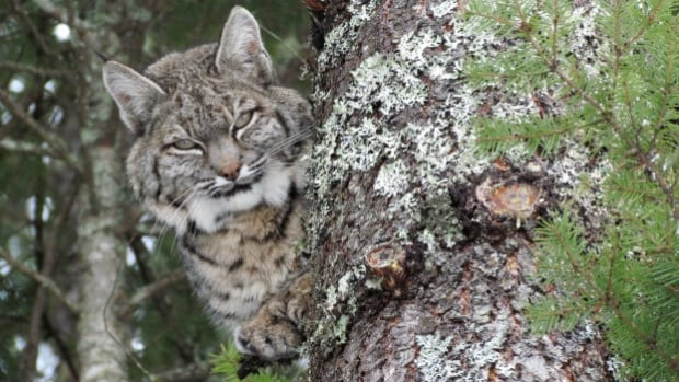 A bobcat spotted in a tree after it had paid a visit to a nearby chicken coop.