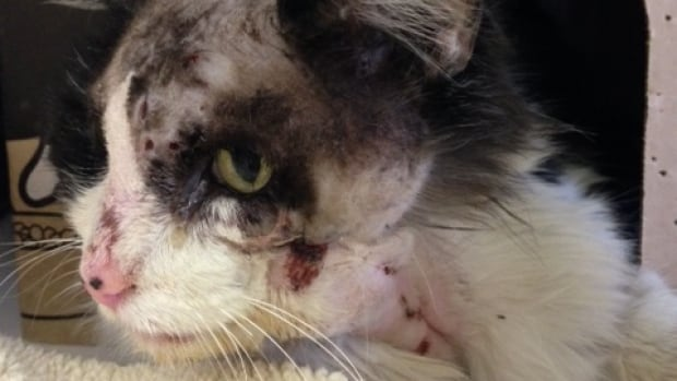 The B.C. SPCA says this cat required dental work after it was shot in the face with a pellet gun.