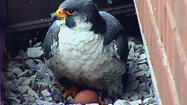 A resident falcon at the Hamilton Sheraton guards an egg earlier this month. Two eggs went missing from the nest and a species expert says stressors may have caused parents Madame X and Surge to eat them.