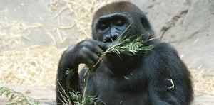 Calgary Zoo gorilla