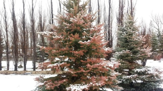 Evergreen trees show brown needles, which are a result of too much sun and not enough moisture in the frozen ground.