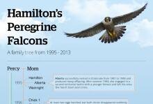 Hamilton peregrine falcons family tree