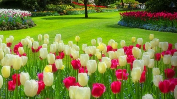 This spring, world-famous Butchart Gardens in B.C. is featuring thousands of P.E.I. bulbs produced by Vanco Farms.