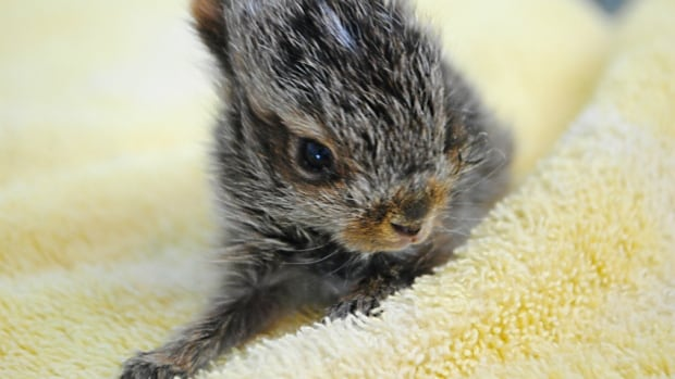 The Calgary Wildlife Rehabilitation Society is asking the public to leave baby hares where they find them.