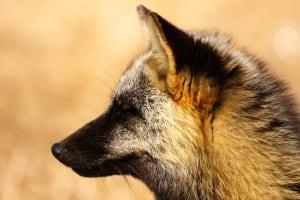 Signal Hill fox up close