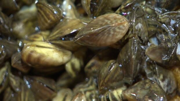 Zebra mussels are fingernail-sized freshwater molluscs that get attached to boats and can choke out native species. They can clog water intake pipes and machinery once they get established.