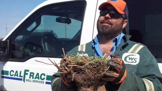 Chris Willette, an employee of Calfrac Well Services, holds an example of the type of baby's breath plant that is threatening an endangered flower in the Medicine Hat, Alta., area. Willette and other volunteers are digging up baby's breath, an invasive weed, in the hope of saving the rare Tiny Cryptantha, which is only found in a few places in southern Alberta and Saskatchewan.