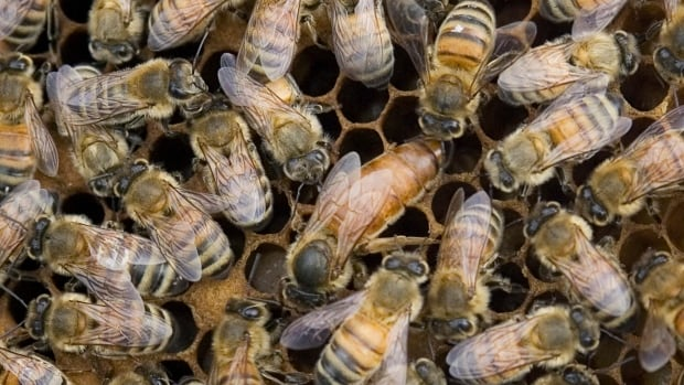 Beekeepers in northeastern Ontario have lost, on average, 50 per cent of their hives.