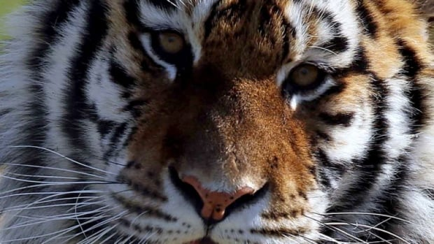 Hani, one of a pair of sister Siberian tigers brought to B.C. from South Korea in 2012, died Wednesday.
