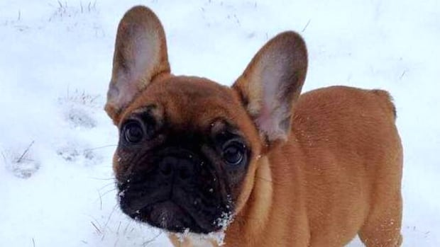 A young French bulldog playing in the fresh snow Saturday morning.