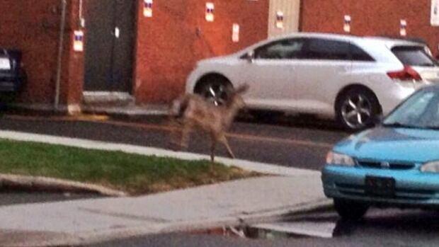 Twitter user Karen MacDonald tweeted this photo of the deer on Sunday evening.