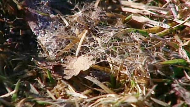 Once the snow leaves, a webbing of snow mould starts to show on lawns across the city.