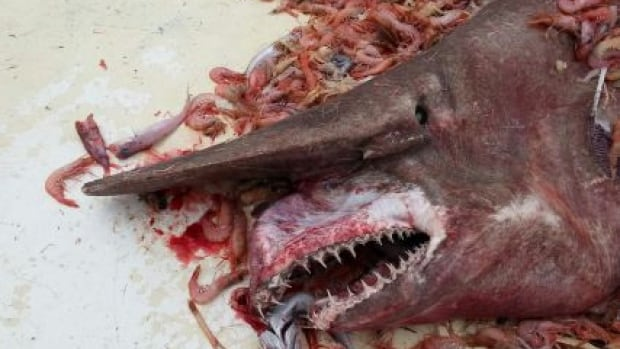This rare Goblin shark, estimated to be about 4.6 to 5.5 metres long, was caught by shrimp fishermen off the U.S. coast as they hauled up a net set at more than 610 metres deep.