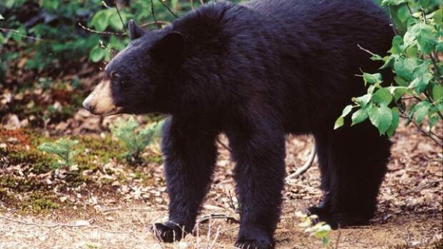 A black bear got a little too curious about a birthday party in Juneau alaska