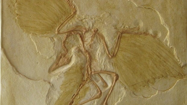 Archaeopteryx, the first known bird, was a small dinosaur weighing about .99 kilograms. Small size might have been key to the evolutionary success of the lineage that led to birds.
