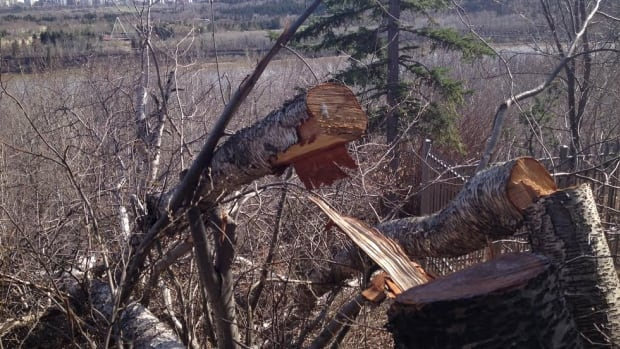 City park rangers are investigating after someone cut down $19,000 worth of trees from municipal parkland near Valleyview Point in west Edmonton.
