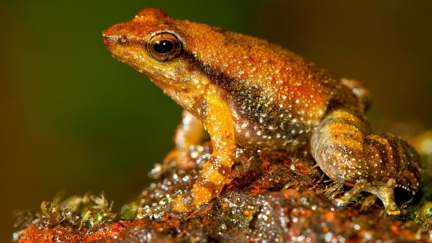 The study listing the new species brings the number of known Indian dancing frogs to 24. The unusual amphibians are found exclusively in southern India's lush mountain range called the Western Ghats, which stretches 1,600 kilometres from the west state of Maharashtra down to the country's southern tip.