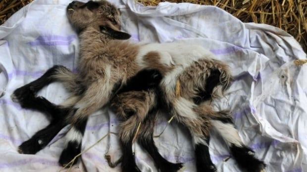 Veterinarians said it was likely that Octogoat's condition was caused by an underdeveloped twin inside the mother's womb. The kid is not expected to live out the week.