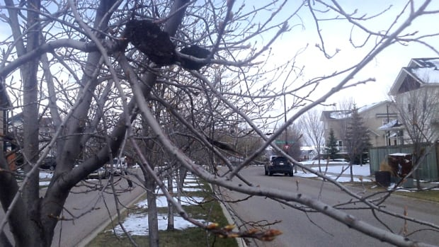Black knot has infected this tree in the southwest Calgary community of Cougar Ridge.