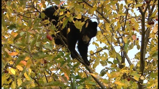 Zoocheck Canada and Animal Alliance of Canada say the Bear Cub Rescue Hotline will allow hunters and others to call in and leave information about any orphaned cubs.