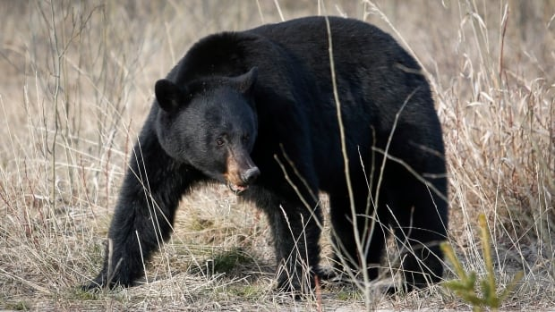 A black bear, like this one seen in Jasper National Park, killed a woman working on a Suncor site near Fort McMurray on Wednesday.