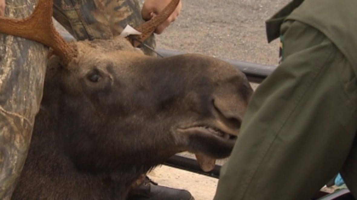 Moose Hunting Season May Expand To  Days New Brunswick