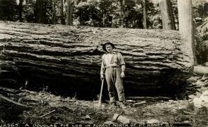 Douglas fir 1933