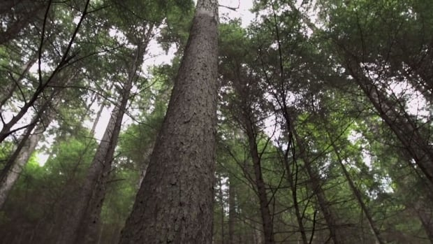 The Ancient Spruce is 460 years old.