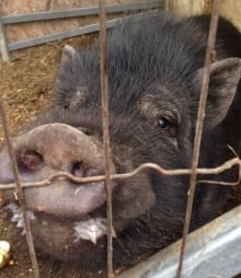Bull the domestic pig found reunited Cantley Quebec