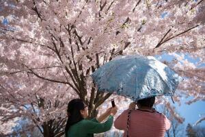 Toronto High Park Cherry Blossoms