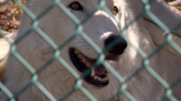 Tundra, a two-year-old Arctic Wolf, said hello to Edmontonians for the first time on Friday.