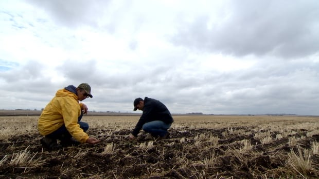 Rick Page, left, surveys his crop of recently planted peas along with his son, Robert, on their farm near Carseland, Alta.