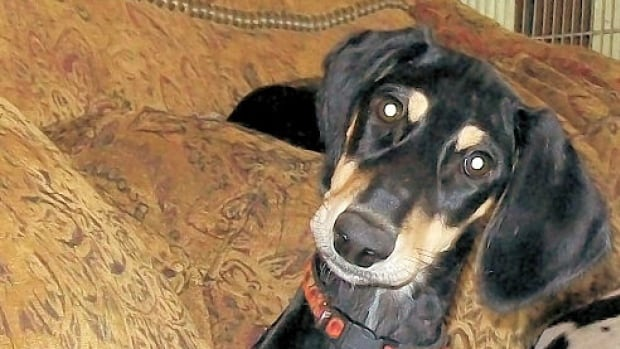 Zip, a saluki owned by Lynn Knapp, was in Beverly Creed's Calgary house when Humane Society officials seized dozens of dogs they believed to be suffering neglect in May.