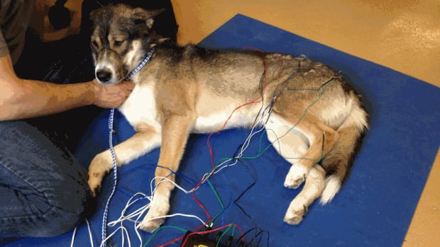 This husky named Q gets acupuncture to help with pain and mobility after being hit by a car and suffering a fractured pelvis.