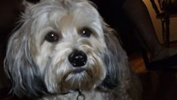Piper, a six-year-old Maltese-poodle, was attacked in a Hammonds Plains backyard.