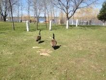 Winnipeg Geese