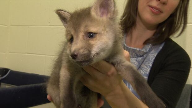 One month later, officials at the Yukon Wildlife Preserve can say with certainty the baby animal a Whitehorse family mistook for a puppy is most definitely a fox.