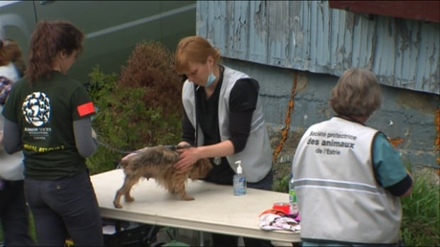 SPCA and Humane Society officials assess dogs rescued from a puppy mill in Bonsecours in the Eastern Townships on Friday.