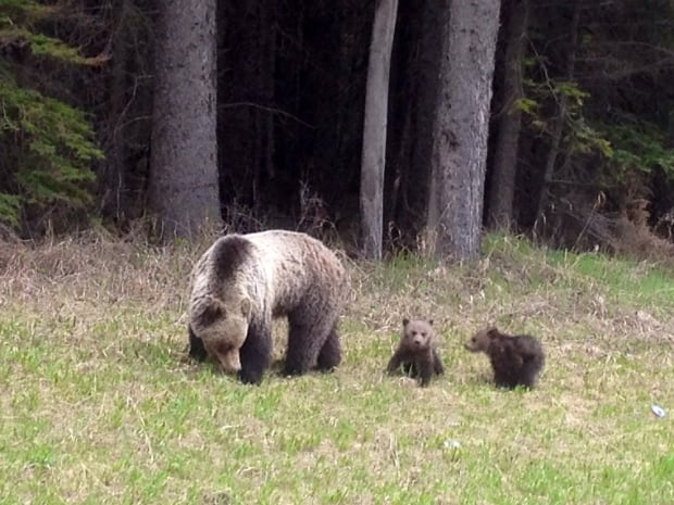 Grizzly Cubs 1