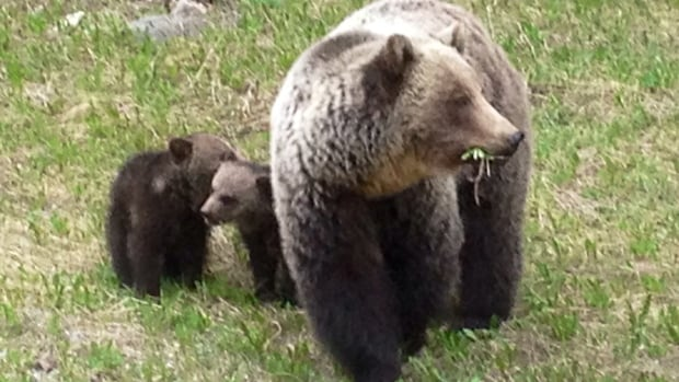 Photos taken last Friday show a grizzly and her young cubs in Kootenay National Park.