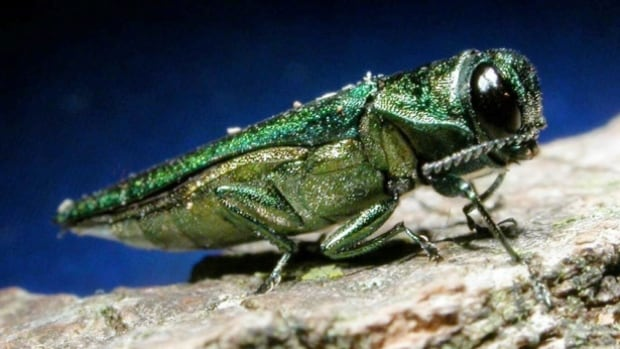 McGill forest ecologist Jim Fyles says there is no guarantee Montreal West's program will effectively vaccinate against the Emerald Ash Borer, since the treatment was only developed a few years ago.
