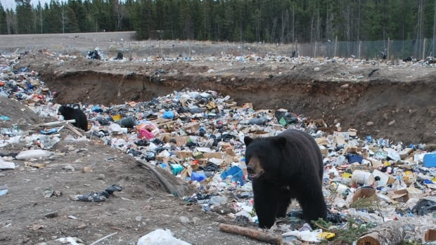 Eight young black bears were spotted at the dump in Whati, N.W.T. on Friday. 'This is quite unusual to see this many and some of the elders in the community are concerned about it,' says senior administrative officer Larry Baran.