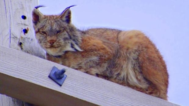 A lynx decided to take up residence on a Lord's Cove power pole.