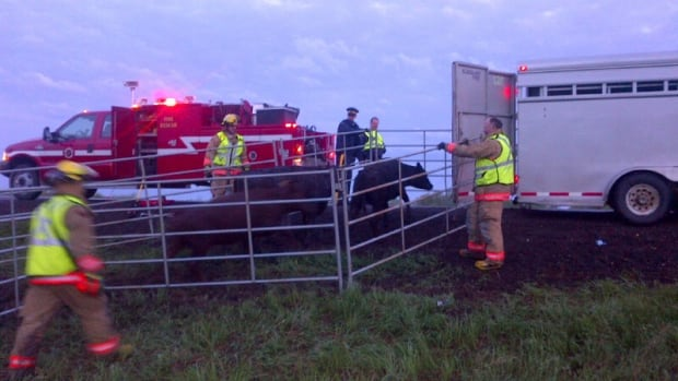 Firefighters and other first responders helped round up cattle at the scene of a crash near Chamberlain, Sask., on Thursday morning.
