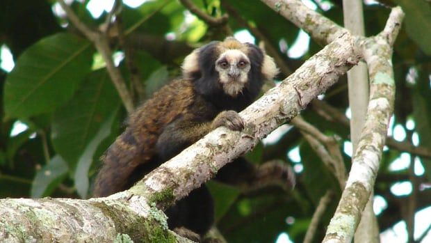 The Buff-tufted-ear marmoset is listed as a vulnerable species because of habitat loss. Species of plants and animals are going extinct 1,000 faster than they did before humans, a new study says.