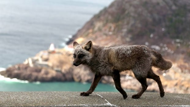 One of the foxes frequently spotted in the Signal Hill area. Parks Canada staff have closed the hill twice this week to try and catch the foxes frequently spotted in the area.