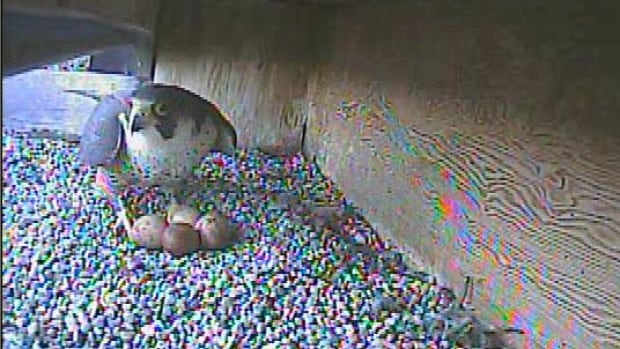 Princess the peregrine falcon stands guard over her four eggs in their nest atop the Radisson Hotel in Winnipeg on Friday.