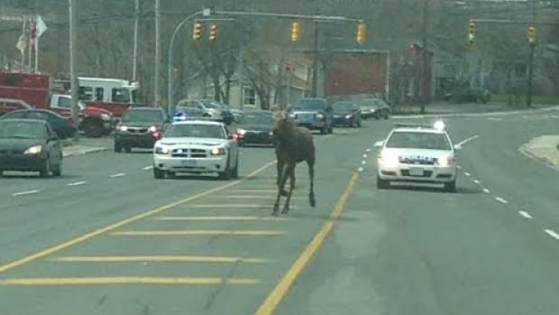 Police escort a moose along Topsail Road near the Brookfield Fire Station in St. John's on Saturday.
