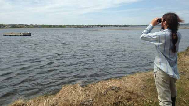 Rémi Donelle, the manager of the Shediac Bay Watershed Association, looks at a new platform that the group hopes will keep a colony of common terns in the bay.