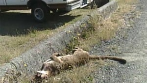 Cougar shot in Langford